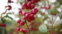 Crab apple tree  (small red apple tree) close up Stock Footage