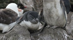 Rockhopper penguin sleepin Stock Footage