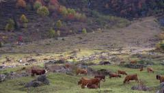 Herd of cows in an alpine meadow Stock Footage