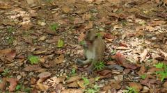 Monkey Eating Lotus Seeds - Angkor Wat Temple Cambodia - stock footage