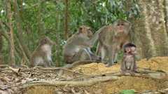 Troop of Monkeys with Baby  - Angkor Wat Temple Cambodia - stock footage