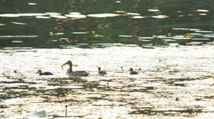 Duck family. Mother duck with cute ducklings in a pond Stock Footage