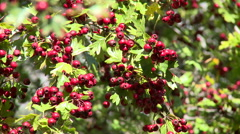 Hawthorn fruits hanging in branch, close up Stock Footage
