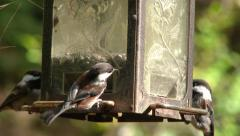 Chestnut Backed Chickadees on Bird Feeder 2 - stock footage