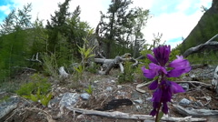 Stock Footage Wild Flower in Taiga Forest - stock footage