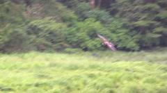 Eagle landing,  Bald Eagle - stock footage