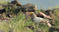 Bird Egyptian Vulture eating carcass in the mountain rocks. Stock Footage
