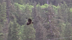 Flies into trees, Slow motion  Bald Eagle Stock Footage