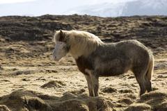 Icelandic pony in wintertime - stock photo