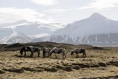 Herd of Icelandic horses in spring - stock photo
