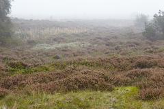 Amrum (Germany) - Heathland at fog - stock photo