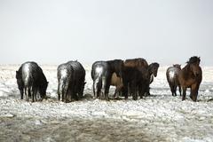Herd of Icelandic horses after snow storm - stock photo