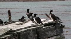 Rock cormorant Stock Footage