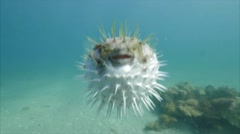 Puffer Fish puffed Stock Footage