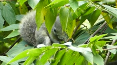 Squirrel eating seed on tree. Stock Footage