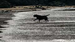 Labrador dog running on beach in silhouette, slow motion Stock Footage