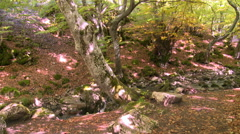 Tree in a beech forest by small stream, tilt up Stock Footage