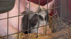 Adult pig laying in pen tired and exhausted 4k - stock footage