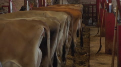 Tail ends of cows in stable eating 4k Stock Footage