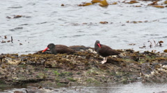 Black oystercatcher Stock Footage