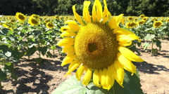 Sunflower standing out from others in background 4k Stock Footage