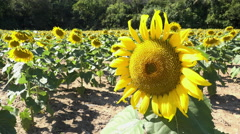 Bee on sunflower on sunny day in field 4k Stock Footage