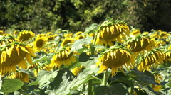Field of sunflowers with their flowers hanging away from sun 4k - stock footage