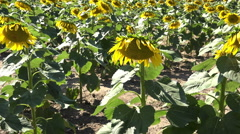 Sunflowers in field pan shot 4k Stock Footage