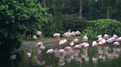 A lot of pink flamingoes in a Central Park of Hong Kong - stock footage