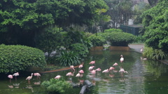 Some rose flamingoes in Park of Hong Kong Stock Footage
