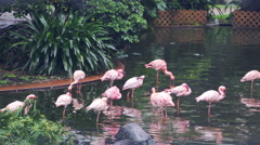 Some rose flamingoes in a Central Park of Hong Kong - stock footage