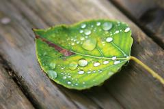 Fallen wet leaf with drops - stock photo