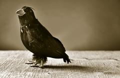 black crow on a wooden surface, in sepia toning - stock photo