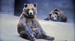 1973: Grizzly brown bears bored in a tiny habitat at the zoo. Stock Footage