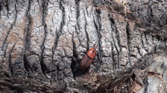 Red palm weevil on Palm tree (Rhynchophorus ferrugineus) Stock Footage