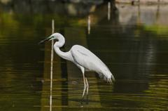 Stock Photo of Great White Egret (Ardea Alba) fishing