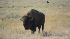 American Bison Buffalo Walking While Licking His Lips Stock Footage