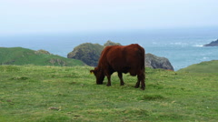 Cow grazing on cliff top, Cornwall, UK Stock Footage