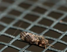 Small brown spittlebug with red eyes on window screen Stock Photos