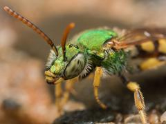Green metallic sweat bee profile view Stock Photos