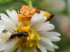 Yellow Ambush Bug Eats Wasp on white aster - stock photo