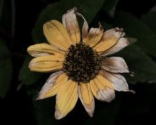 Yellow Sunflower with faded dying petals - stock photo