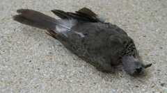Dead Spotted dove Stock Footage