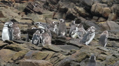 Magellanic penguin Flock Stock Footage