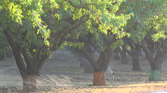 Almond trees are watered in a California field during a period of drought. - stock footage
