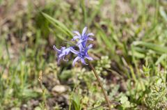 Spanish bluebell, Hyacinthoides hispanica Stock Photos