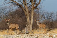 Herd of Kudu on way to waterhole Stock Photos