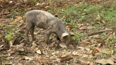 Wild Boar Pig with Nose in the Dirt Stock Footage