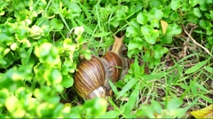 Giant African land snails in the garden Stock Footage