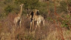 YOUNG GIRAFFES NECKING IN SOUTH AFRICA SLOW MOTION Stock Footage